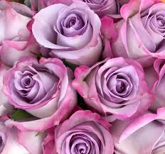 pink and roses purple and pink roses suzanne flickr