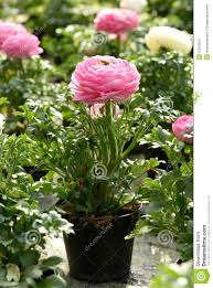 Flower Pot Sale Potted Pink Buttercup Stock Photo Image Of Cultivated 51679810