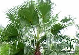 family arecaceae washingtonia filifera seeds 60pcs much loved