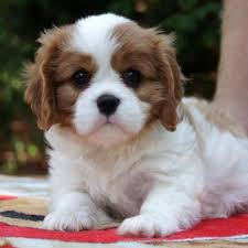 puppies for sale best 25 puppies for sale ideas on tiny puppies
