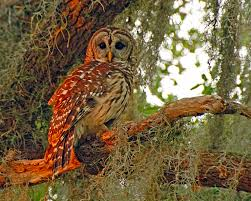 barred owl naturechirp