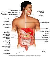 Human Anatomy Torso Diagram Human Vital Organs Diagram Anatomy Lymphoid Organs Human Anatomy