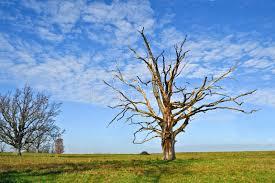 dead oak tree stock photo image of field decay nature 4564376