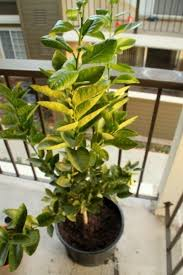 growing lime trees in containers how to care for lime trees in a pot