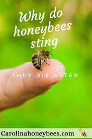 why do honeybees sting honey bee sting bee sting and bees