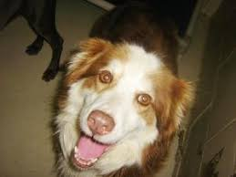 australian shepherd kalamazoo michigan 127 best dogs i want to bring home images on pinterest dr who