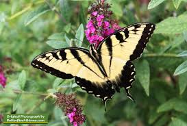 eastern tiger swallowtail butterfly size colors span host
