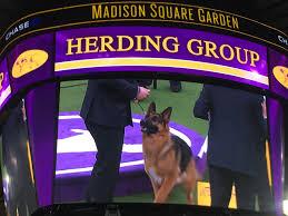 westminster dog show u0027best in show u0027 winner breed runner ups