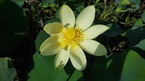 native kansas plants exploring kansas outdoors ah my little lotus flower