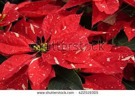 white poinsettia stock images royalty free images vectors