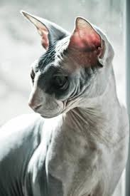 145 best sphinx images on pinterest animals sphinx cat and
