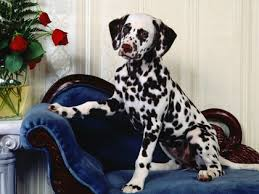 dogs dalmatians 1600x1200 wallpaper quality wallpapers