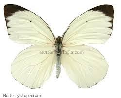 white glider ascia buneae sublineata white butterfly