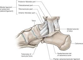 Os Calcaneus Lower Leg Ankle And Foot Musculoskeletal Key