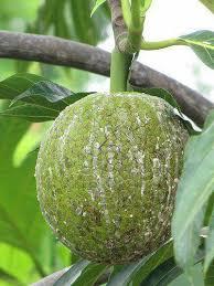 cuisiner le fruit de l arbre à fruit de l arbre à fruits et légumes gwada