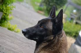belgian shepherd dog temperament free images puppy animal vertebrate dog breed belgian