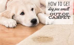 How To Get Dry Stains Out Of Carpet Ew That Smell How To Get Dog Smell Out Of Carpet