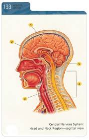 Human Anatomy Flashcards Barron U0027s Anatomy Flash Cards Kurt Albertine Ph D 9780764161599