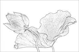 lotus flower imgp0728 sketch lotus flower sketch penci u2026 flickr