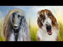 afghan hound top speed afghan hound vs borzoi face off youtube