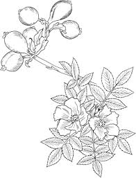 wild rose coloring free printable coloring pages