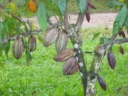 rare fruit australia eat your landscaping selleras trellis cocoa2