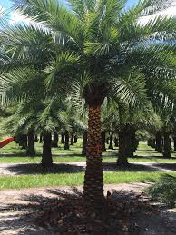 sylvester date palm tree t c tree farms plantant