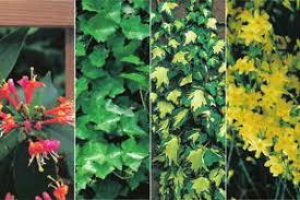 kletterpflanzen fã r balkon 4 immergrüne kletterpflanzen für balkon pergola rankgitter usw