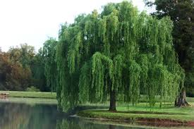 willow tree reproduction number two willow trees