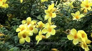 yellow flowers this allamanda in india has yellow flowers