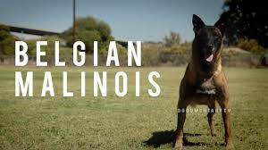 belgian shepherd x mastiff belgian malinois the shepherd with a pit bull u0027s spirit youtube