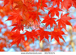 maple leaf change color fall stock photo 301763174