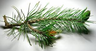 white pine cone file pine cones male and female jpg wikipedia