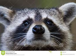 raccoon stock photos images u0026 pictures 4 846 images