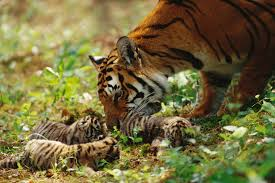 tiger and cubs planet