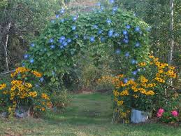 heavenly blue morning glory and indian summer rudbeckia in