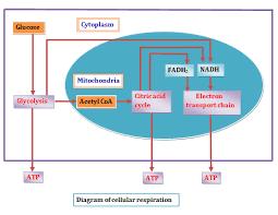 wilsonsbi4u 01 2014 unit 2 metabolic processes