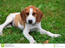 Black And Tan Beagles Beagle Puppy Black U0026 Tan Royalty Free Stock Photos Image 3575408