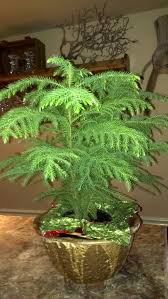 what to do with a too big norfolk island pine pennlive com