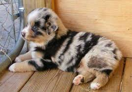 australian shepherd 101 20 of the most adorable puppies with spots