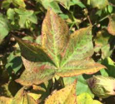 Deficiency Diseases In Plants - red cotton leaves causes and implications cotton farming