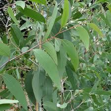 eucalyptus pauciflora niphophila buy snow gum trees