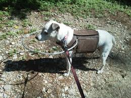 Halo For Blind Dogs Dr Murray U0027s Jack Russell Terrier U0027s Got U201cgame U201d Neartown Animal