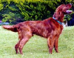 irish setter male dog names irish setter dog breed information and pictures
