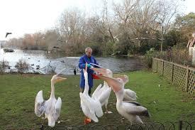 pelicans st james u0027s park the royal parks