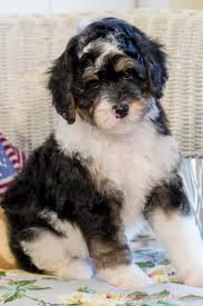 Do Cockapoo Dogs Shed A Lot by 20 Best Bernedoodles Images On Pinterest Animals Bernese