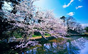 cherry blossom trees wallpapers hd wallpapers