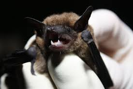 small bat eastern small footed bat virginia wildlife removal