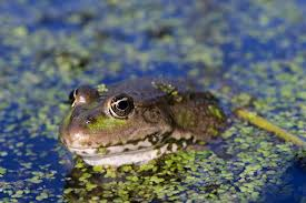 bbc iwonder could frogs go the way of the dinosaurs
