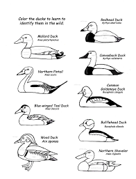 color ducks learn names